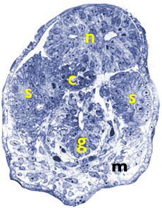 [Figure2.4.3 (histological cross-section human of human embryonic tail at Carnegie stage 14)]